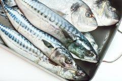 Fresh fish Dorado and Mackerel Stock Photography