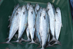 Fresh fish at Dubai Fish Market Stock Image