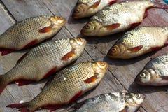 Fresh fish European roach Stock Images