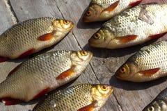 Fresh fish European roach Stock Photos