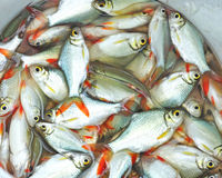 Fresh fish from fishing game Royalty Free Stock Photography