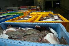 Fresh Flounder Fish in Shipping Container Stock Photo