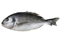 Fresh fish gilthead isolated Stock Photos