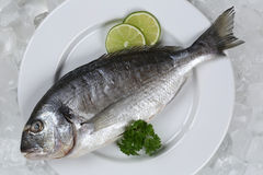 Fresh fish gilthead on a plate. On ice Stock Photos