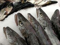 Fresh fish hake at market to buy. With eyes and mouth open Royalty Free Stock Image
