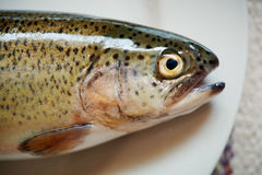 Fresh Fish Head. Close-up picture of a fresh forel fish on the plate, only head is seen Royalty Free Stock Image