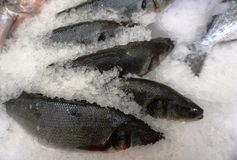 Fresh fish in ice crumb. Fresh fish salmon lies in the ice crumb on the window royalty free stock images