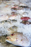 Fresh fish in ice fresh for cooking Stock Image