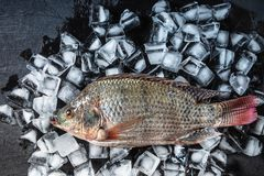 Fresh fish in the ice on blackground. Fresh fish on the ice stock images