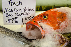 Fresh fish on ice for sale. Close-up of fresh Alaskan yellow eye rockfish for sale at a fish market Royalty Free Stock Photos