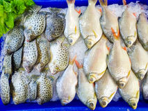 Fresh fish on ice. To sell at supermarket Royalty Free Stock Photo