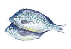 Fresh fish illustration. Hand drawn watercolor on white background. Fish illustration. Hand drawn watercolor Royalty Free Stock Photography