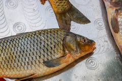 Fresh fish from lake or river. A limbless cold-blooded vertebrate animal with gills and fins and living wholly in water Stock Photography