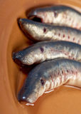 Fresh fish lamprey Stock Image