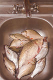 Fresh Fish Lie In The Sink Before Gutting And Cleaning Stock Images