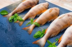 Fresh fish lies on a dark background, sprigs of green basil, top view. River perch for lunch.  stock photo