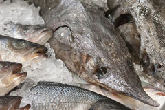 The fresh fish lying in ice Royalty Free Stock Images
