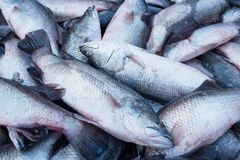 Fresh fish in a market that is red snapper and white display. Qu. Ality of marine products.Thailand Royalty Free Stock Photos