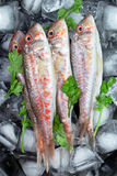 Fresh fish (Mullus barbatus ponticus) Stock Photos