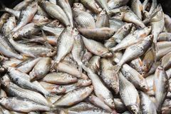 Fresh fish. Natural river fish. Food stock image