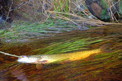 Fresh fish and old ways of its preservation 5. Pike Stock Photography