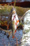 Fresh fish and old ways of its preservation 8. River perch Perca fluviatilis Stock Photo