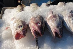 Fresh Fish, Pacific Cod Royalty Free Stock Photos