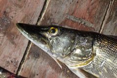 Fresh fish pike Stock Photography