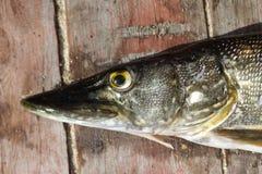 Fresh fish pike Stock Photos
