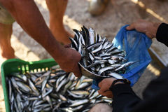 Fresh fish. Fresh and raw anchovy, sprats and saurel just caught from the sea and sold in the local market Stock Photos