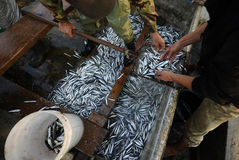 Fresh fish. Fresh and raw anchovy, sprats and saurel just caught from the sea and sold in the local market Stock Photo