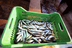 Fresh fish. Fresh and raw anchovy, sprats and saurel just caught from the sea and sold in the local market Stock Photography
