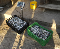 Fresh fish. Fresh and raw anchovy, sprats and saurel just caught from the sea and sold in the local market Royalty Free Stock Images