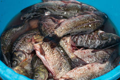 Fresh fish. Raw fish ready for cooking stock photography