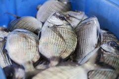 Fresh Frish. Fresh fish recently arrived from the discharge port Royalty Free Stock Images