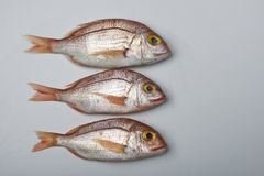 Fresh fish, red snapper. In a plate Stock Images