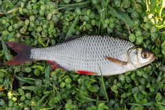 Fresh fish rudd Stock Images