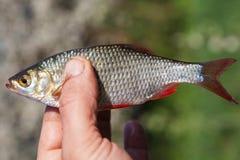 Fresh fish rudd Stock Photo