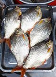 Fresh fish rudd on a metal tray Royalty Free Stock Images