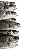 Fresh fish, sea bass. Ready for cooking, isolated Stock Images