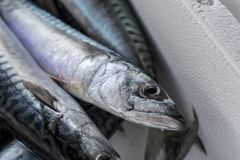 Fresh fish, shellfish, seafood in Cambrils Harbor Market, Catalo. Nia, Spain Stock Image