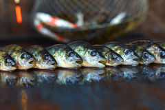 Fresh fish on wooden background. Rod fishing. Perch Stock Image