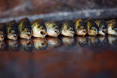 Fresh fish on wooden background. Rod fishing. Perch Stock Photos