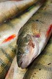 Fresh perch fish close up Stock Photo