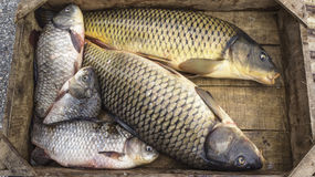 Fresh fishes Cyprinus. Just fished, in a wooden crate Stock Image
