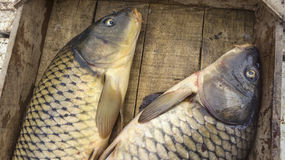 Fresh fishes Cyprinus. Just fished, in a wooden crate Royalty Free Stock Image