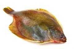 Fresh fishes flounder Stock Photos