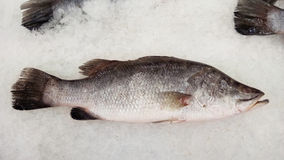 Fresh fishes Giant Perch Royalty Free Stock Images