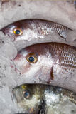 Fresh fishes on ice. In open market Stock Images