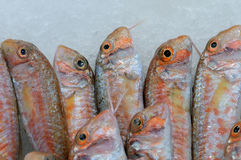Fresh fishes Red mullets Mullus barbatus Stock Photo